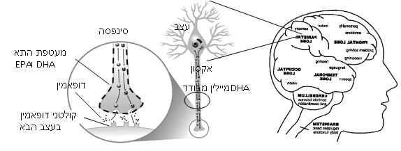 תפקיד האומגה 3 במוח. אומגה 3 גליל - היחידה הנשמרת בקירור לשמירה על חומר פעיל